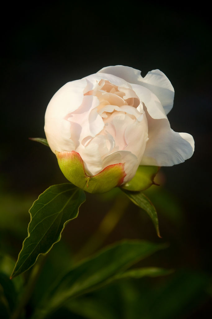 Closeup of unblown white peony (paeonia lactiflora) with green leaves