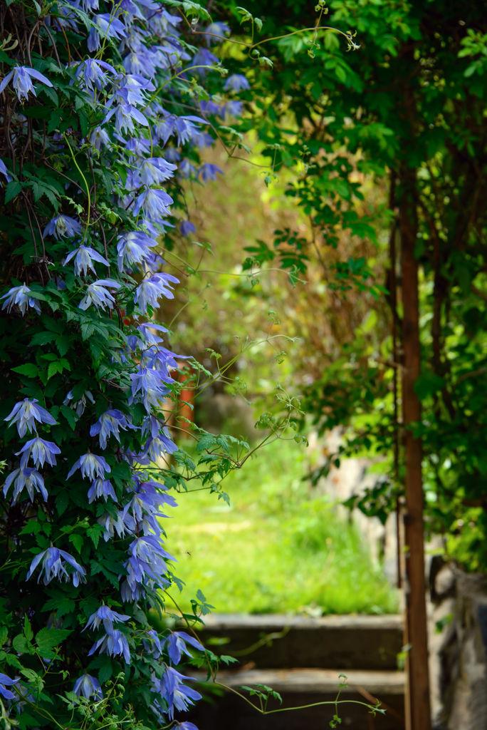 Klematis er en favoritt hos mange, og den er perfekt å kle vegger og tak i hagen med. Foto: Colourbox