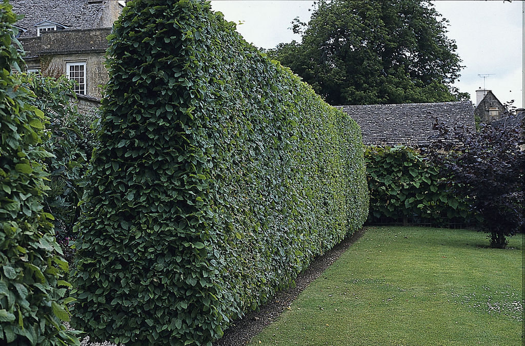 Slik velger du riktig planteslag til hekk. Hvorfor skal du ha hekk, hvor høy bør den være, og funksjon? Alt fra bærbusker til blomstrende planter og busker.