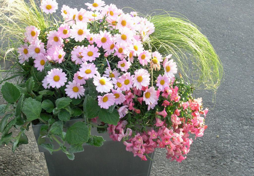 Argeranthemum 'DasyCrazy*, Diascia og prydgress utgjør en stykk vakker og bugnende krukke.