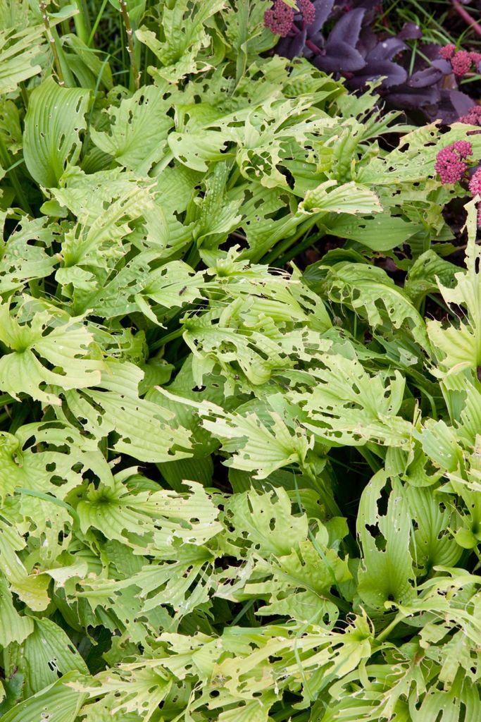 Det er dessverre ikke bare vi som er glade i hageplantene våre. Uansett hvilke hageplanter du dyrker bør du prøve å finne ut av hvilke skadedyr som kan angripe plantene dine så du vet hva du skal se etter.