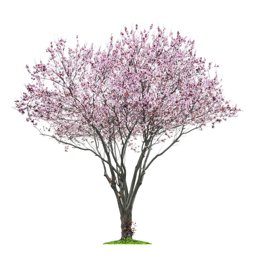Japansk kirsebærtre - Prunus serrulata.