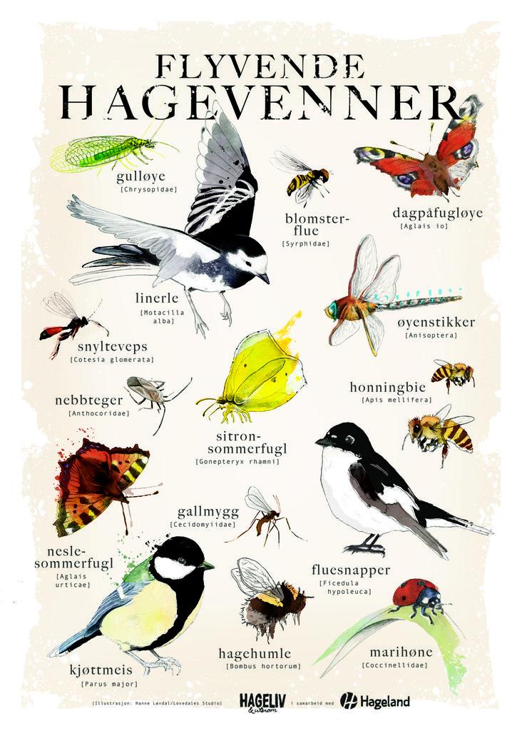 Plakatgave til alle som har kjøpt Hageliv & Uterom nr. 2/2016. Illustrasjon: Hanne Mangset Løvdal