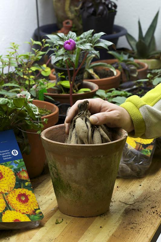 Planting dahlia tuber in pot