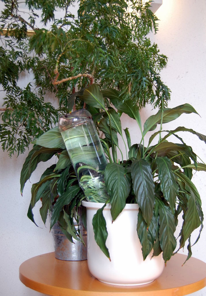 Her får du tips til hvordan du kan vanne planter innendørs - når du er bortreist.
