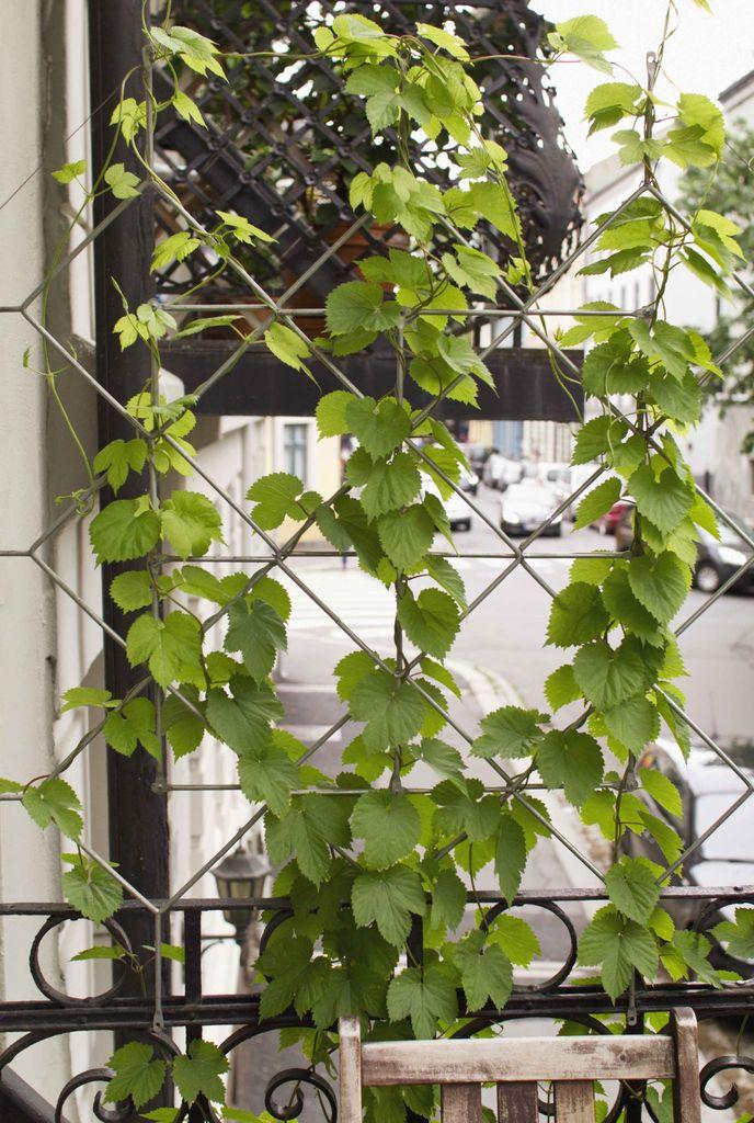 Humle er en rasktvoksende klatreplante som fort blir grønn og frodig uten å kreve for mye.