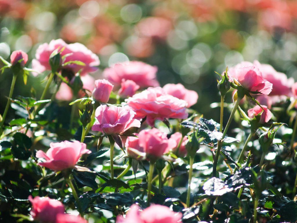 roser3