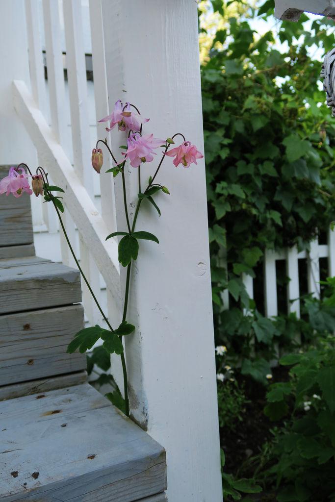 Akeleier - en gammeldags staude. Tips til stell, generell info om planten.