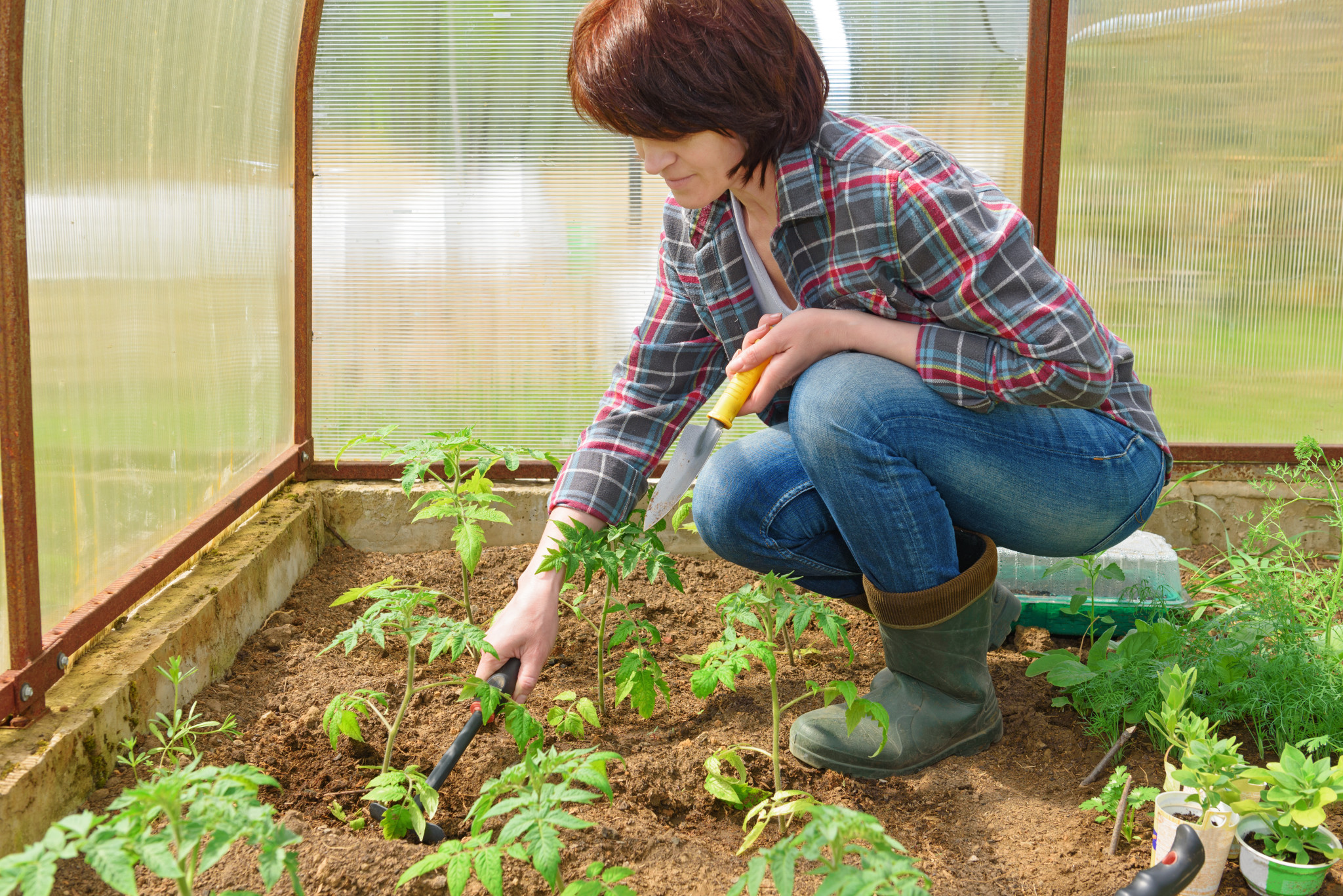 Woman works in the greenhouse, grows up young seedling of tomatoes