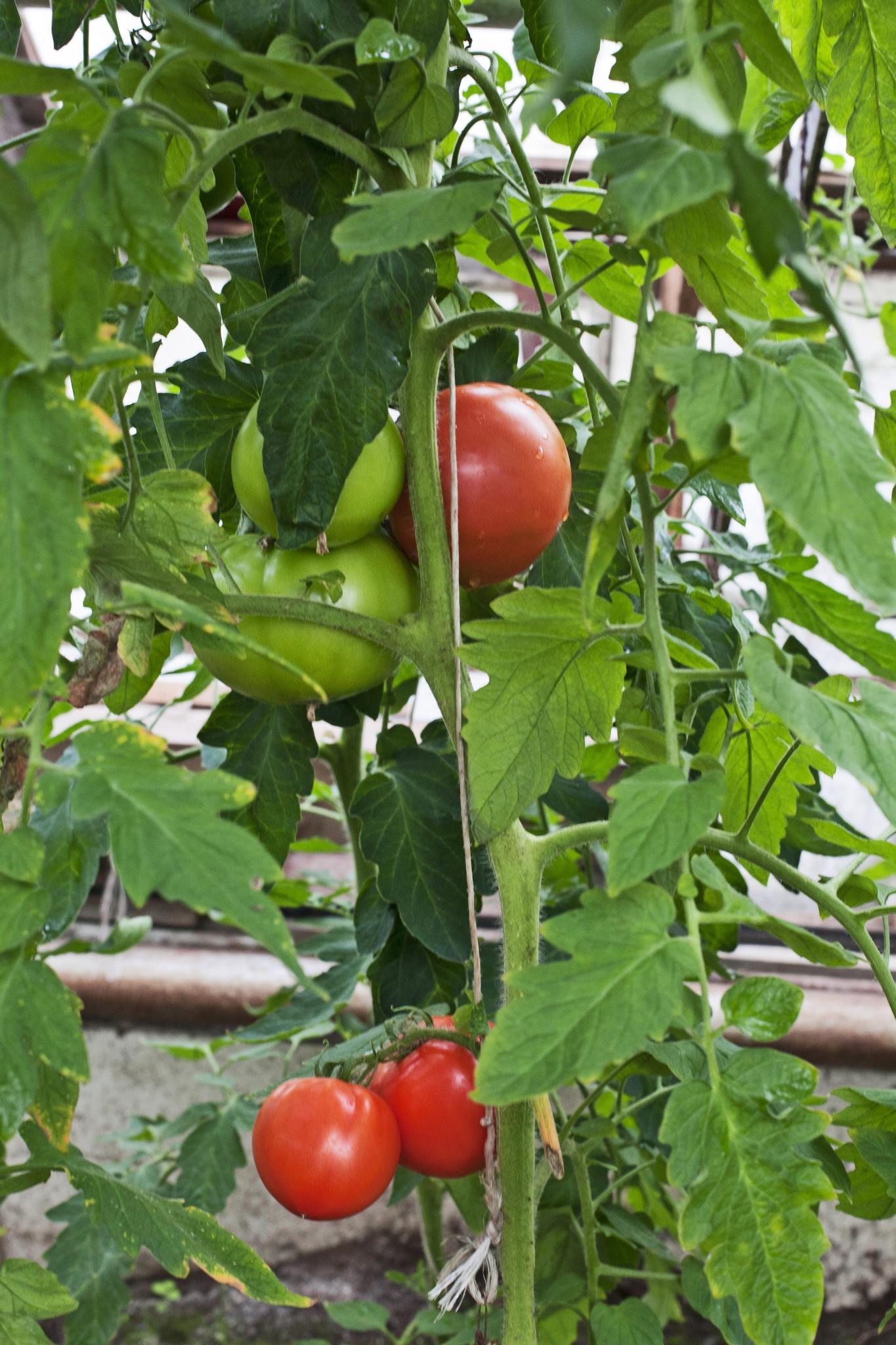 LL0415 Tomatdrivhus Tomater Drivhus Dyrke tomater