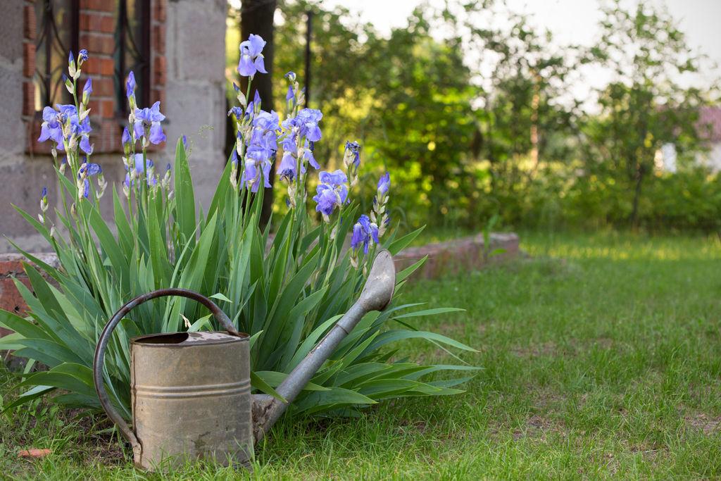 Iris er nydelige stauder med flott bladverk. De kan fort bli store og breie seg i bedet, og er relativt enkle å dele med en spade. Foto: Colourbox