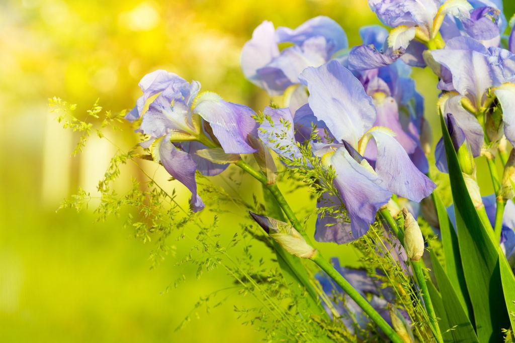 Deling av stauder er sunt og vitaliserende for plantene, og en fin måte å få flere planter på. Foto: Colourbox