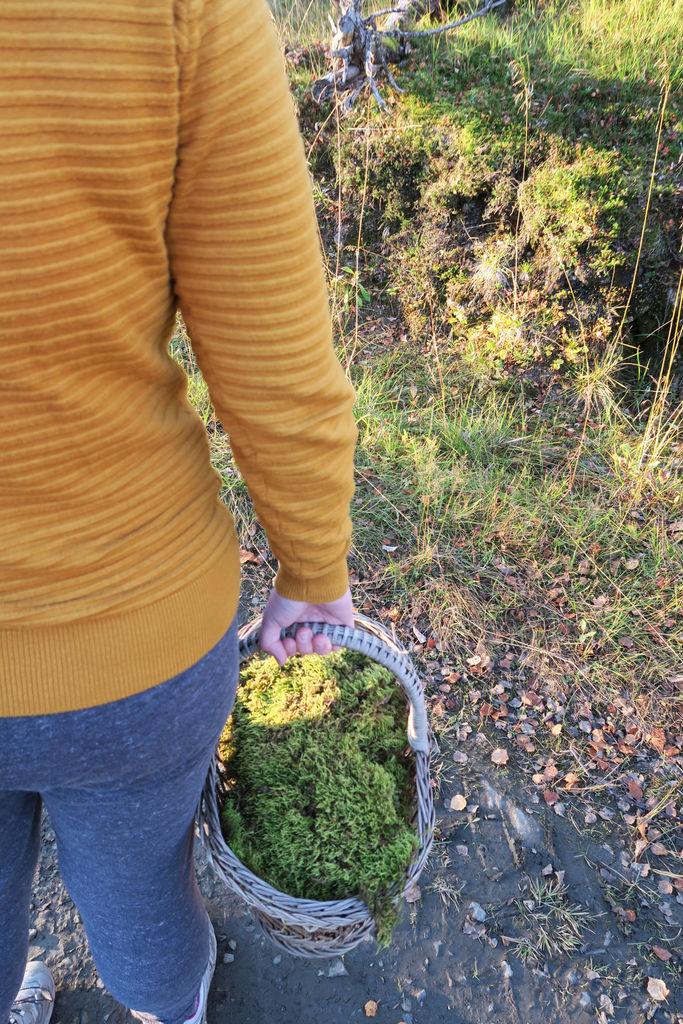 Ta en skogstur en høstdag, sank mose som du kan bruke til julens dekorasjoner.