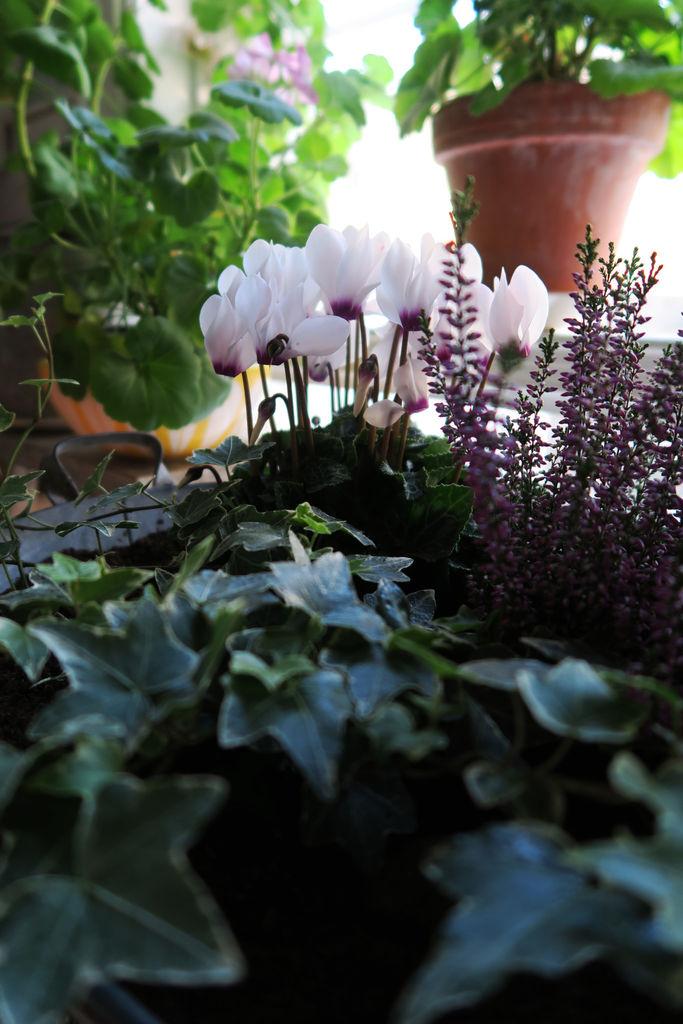 Høstplanter trives også innendørs. Sammenplanting med alpefiol, lyng og eføy.