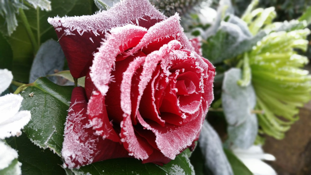 Close-Up Of Frozen Rose
