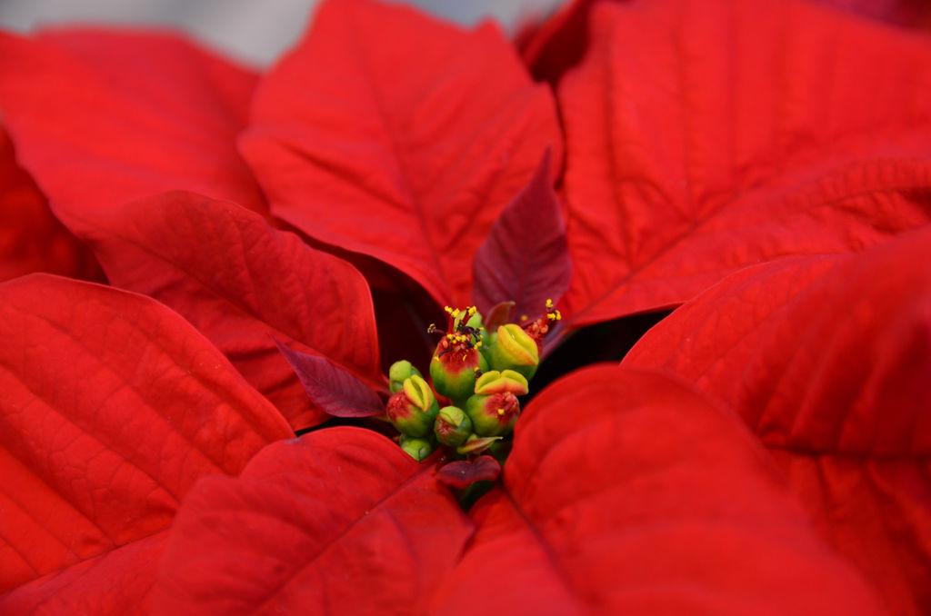 Stell av julestjerner